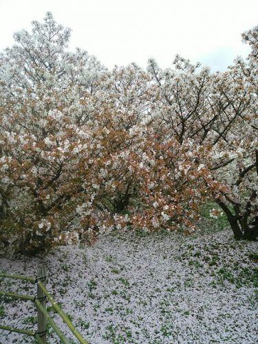 世界遺産!仁和寺の御室桜