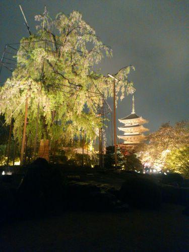 世界遺産!東寺の夜桜ライトアップ✨