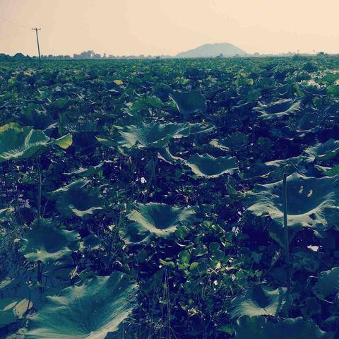 #アンコールワット日本語ガイドトム(533) #シェムリアップ市内の郊外にある、ハス田観光ツアー